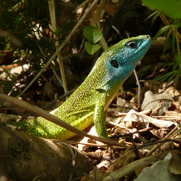 emerald-lizard-7099_1920