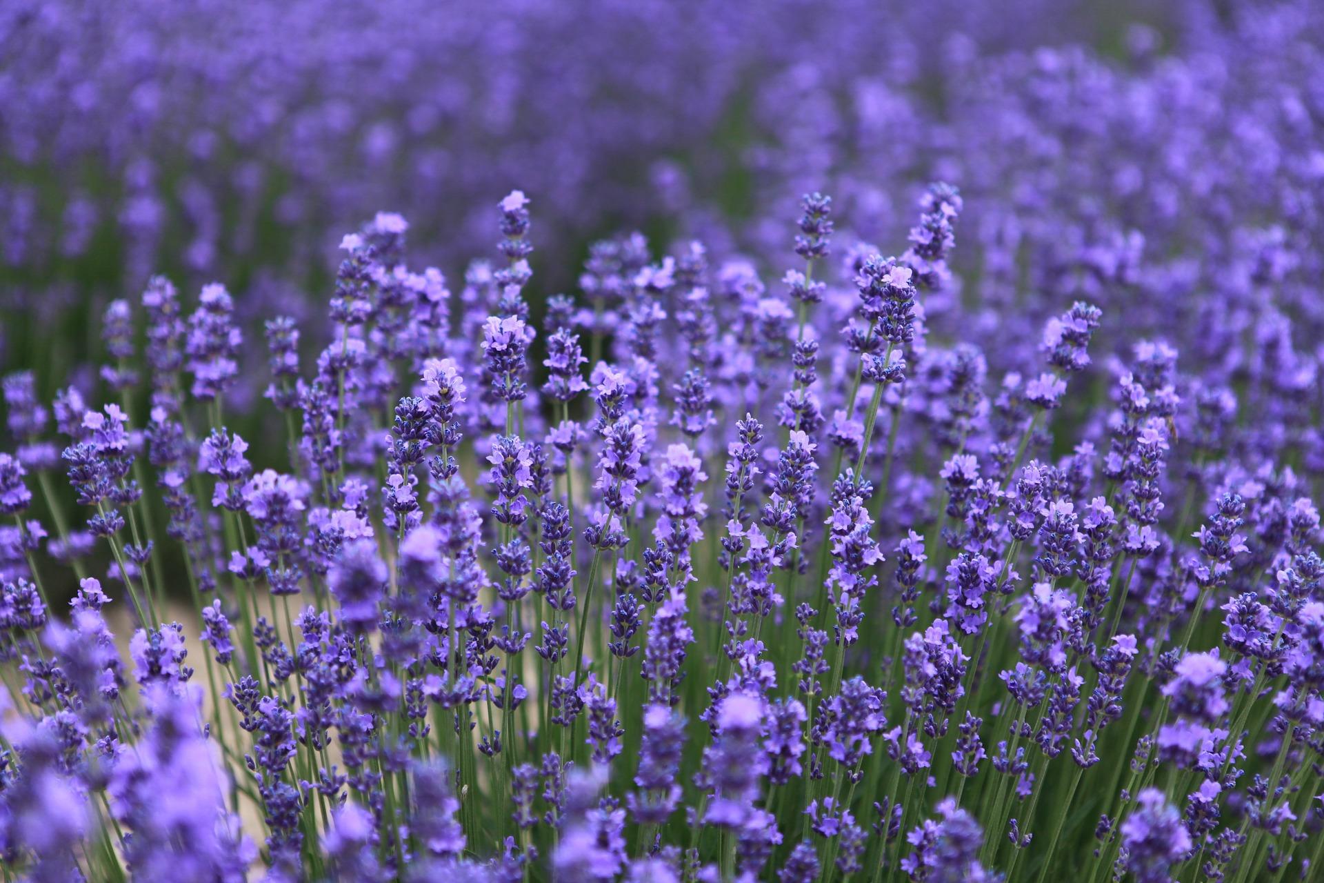 lavender-543728_1920